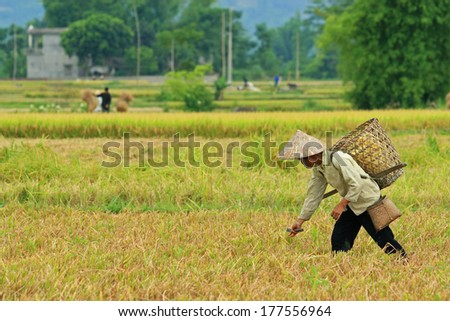 YEN BAI, VIETNAM - MAY 23, 2010: Unidentified farmer collecting the last branches of rice left in the Muong Lo field.  - stock photo