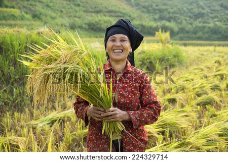 Yen Bai, Vietnam - Sep 27, 2014: Unidentified Hmong smiling woman harvests rice on terraced paddy field in Mu Cang Chai district