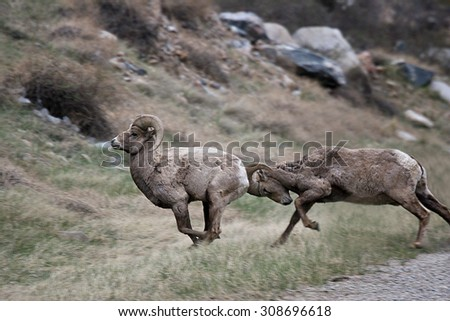 Yes-Butt - Bighorn sheep running and head-butting.. - stock photo