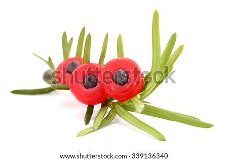 Yew Taxus baccata branch and cone fruits - stock photo