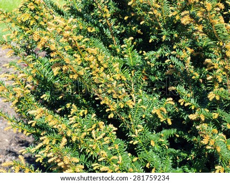 Yew tree branches with young shoots on spring in flower bed - stock photo
