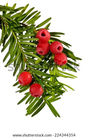 Yew tree in early autumn on a white background - stock photo