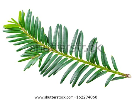 yew twig isolated on white background - stock photo