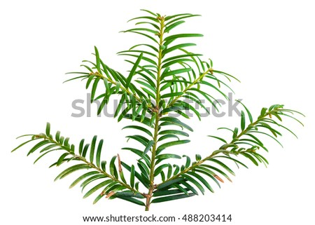 yew twig isolated on white background