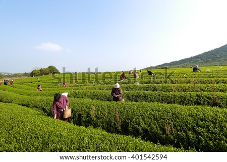 yixing,china - April 4, 2016: Tea plucking, workers,in Yixing city of jiangsu province tea garden, China