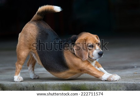 yoga downward facing dog by beagle puppy dog  - stock photo