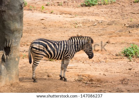 Yong zebra standing on the soil