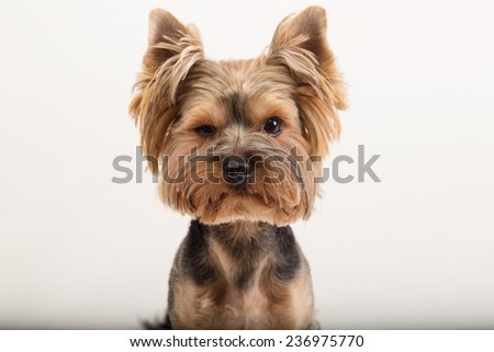 York terrier dog breed. Cute little yorkshire terrier white background. Yorkshire terrier looking at the camera in a head shot, against a white background. Beautiful Yorkshire terrier. Training. - stock photo