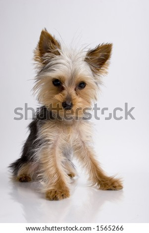 yorkie dog standing sitting looking down