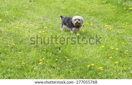 Yorkie Exploring the Outdoors in the Spring - stock photo