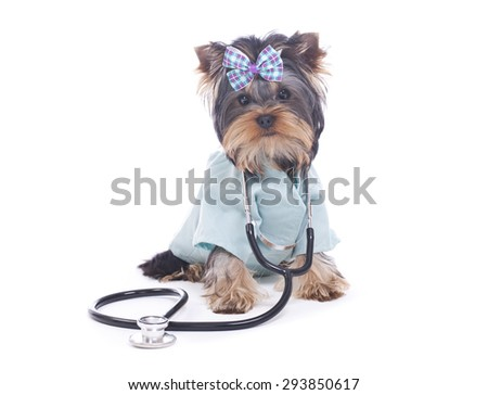 Yorkie Puppy Dressed up as Veterinarian with Stethoscope isolated on White