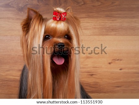 yorkie puppy on table with wooden texture - stock photo