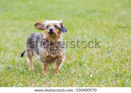 Yorkie standing in the grass in a field