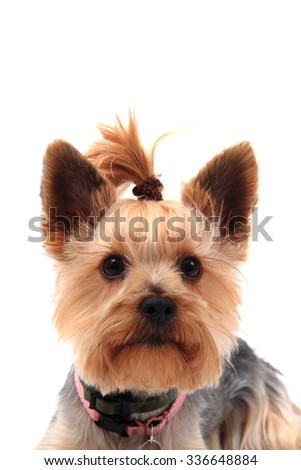 yorkie terrier isolated on the white background