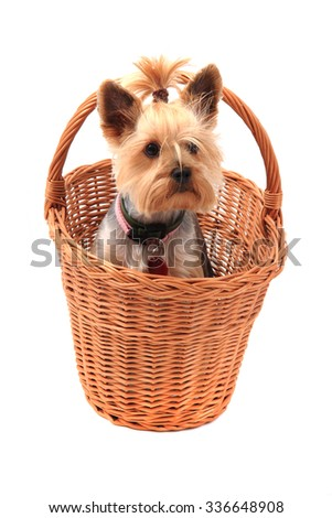 yorkie terrier isolated on the white background - stock photo