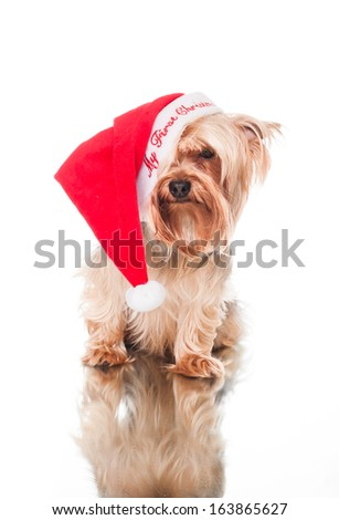 yorkie waiting for christmas
