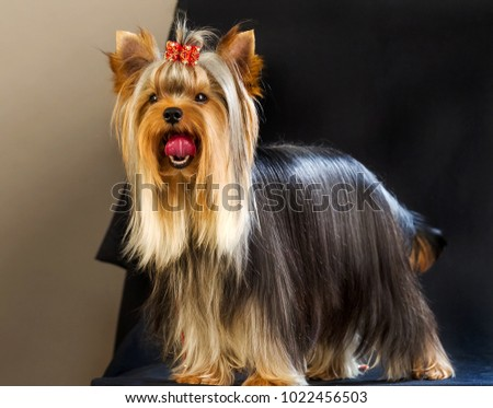Yorkirsky terrier in studio on a black background. Charming with a beautiful pedigree dog hair on the dog show. With selective focus