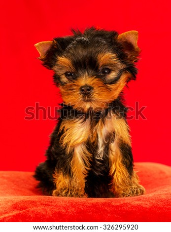 Yorkirsky terrier in studio on a red background. Charming with a beautiful pedigree dog hair on the dog show. With selective focus - stock photo