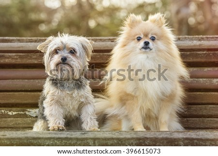 Yorkshire and pomeranian in the park