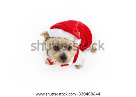 Yorkshire dog dressed as Santa Claus. Color Studio photography on white background. View from above