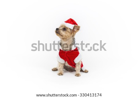 Yorkshire dog dressed as Santa Claus. Color Studio photography on white backround