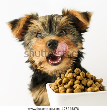 Yorkshire puppy eating a tasty dog food - stock photo