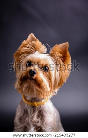 Yorkshire terrier  against black background