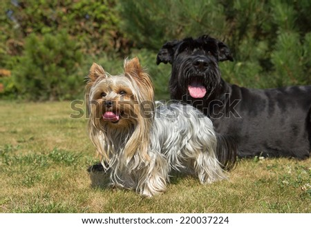 Yorkshire Terrier and Big Black Schnauzer Dod on the lawn. Both dogs have protruding tongue.