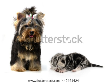 yorkshire terrier and cat  isolated on white - stock photo