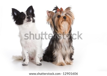 Yorkshire terrier and chihuahua on white background - stock photo