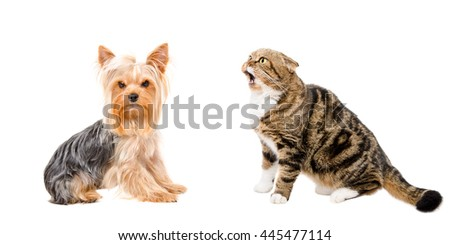 Yorkshire Terrier and funny cat Scottish Fold, isolated on white background - stock photo
