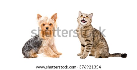 Yorkshire Terrier and meowing cat Scottish Straight isolated on white background - stock photo