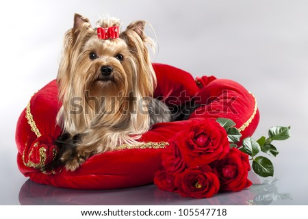 yorkshire terrier and red roses - stock photo