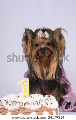 Yorkshire terrier celebrating first birthday