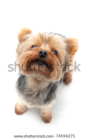 Yorkshire Terrier dog breed - stock photo