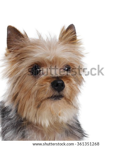 yorkshire terrier dog close up - stock photo