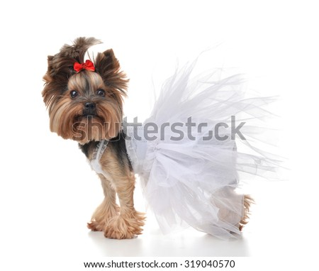 Yorkshire Terrier dog dressed up for wedding like bride standing isolated on a white background - stock photo