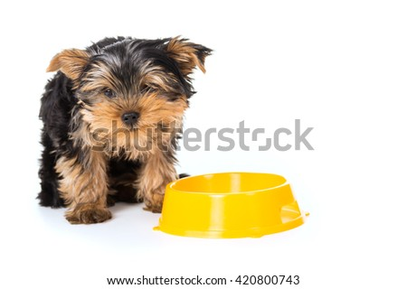Yorkshire Terrier dog eats from a bowl isolated