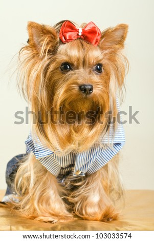 Yorkshire Terrier dog in clothes with red bow