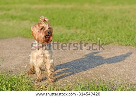 Yorkshire terrier dog in the park a sunny day - stock photo