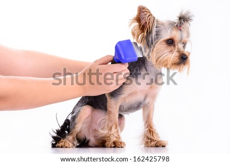 Yorkshire terrier dog is comb. pet isolated on white background - stock photo