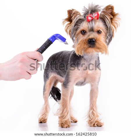 Yorkshire terrier dog is comb. pet isolated on white background