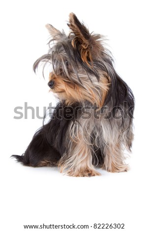 Yorkshire terrier dog looking to the left in an isolated on white portrait - stock photo