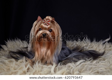 Yorkshire terrier dog lying on sheep's fur. Studio photo. Horizontal. Black background