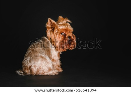 Yorkshire Terrier dog on a black background in the studio