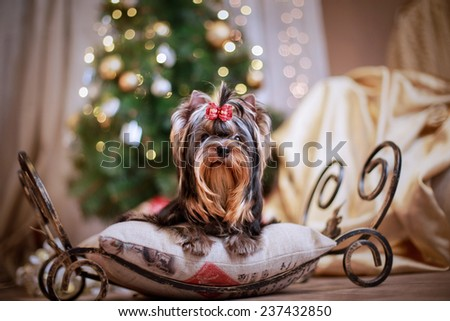 Yorkshire Terrier dog on a retro studio background, Christmas, New Year - stock photo