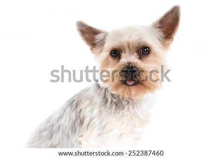 Yorkshire Terrier dog on a white background