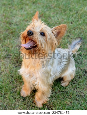yorkshire terrier dog on the grass