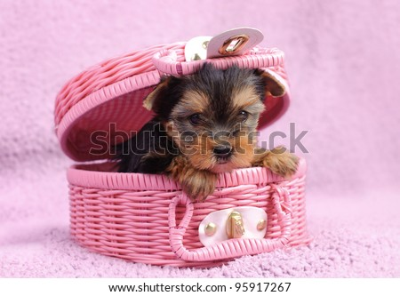 Yorkshire terrier dog puppy portrait