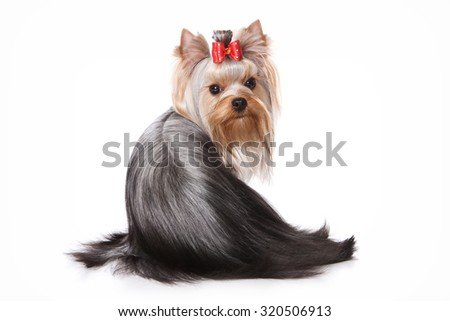 Yorkshire Terrier dog sitting back and looking at the camera (isolated on white)